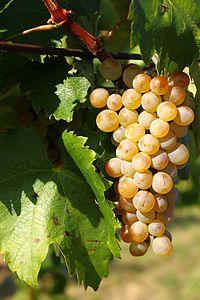 Furmint szőlő