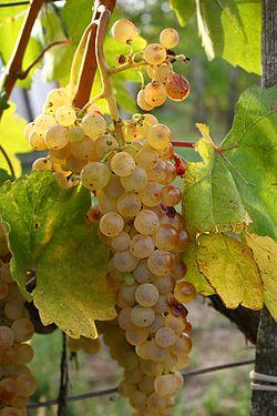Hárslevelű szőlő