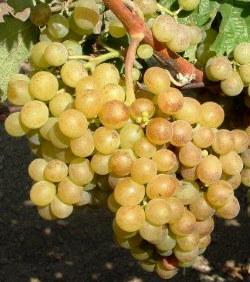 Sárgamuskotály szőlő