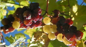 Zéta szőlő